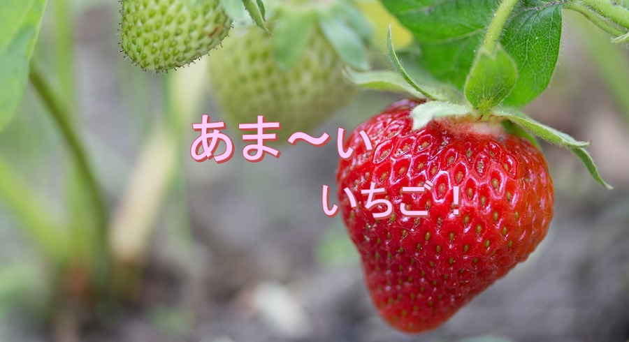 ひのいちご園に練乳をもってイチゴ狩りしてきた【愛媛県西条市】